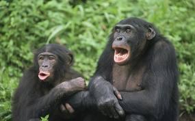 bonobo penis størrelse